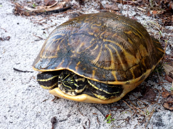 Želva ve státním parku Lak Louisa